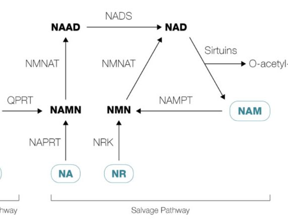 NAD+ Helps Restore Age-Related Muscle Deterioration